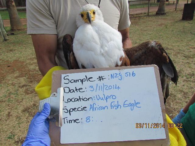 Image of Sea eagles
