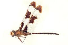 Image of Prince Baskettail