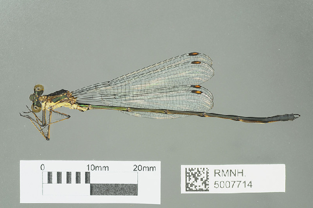 Image of Synlestinae
