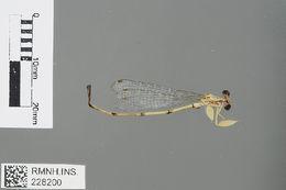 Image of Platycnemidinae