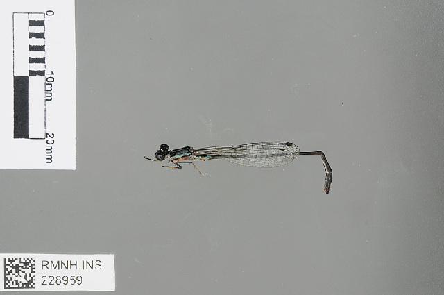 Image of Argiocnemis Selys 1877