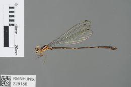 Image of Calicnemiinae