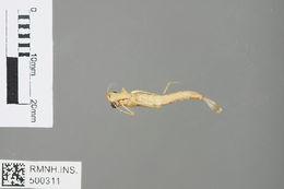 Image of Chlorolestes Selys 1862