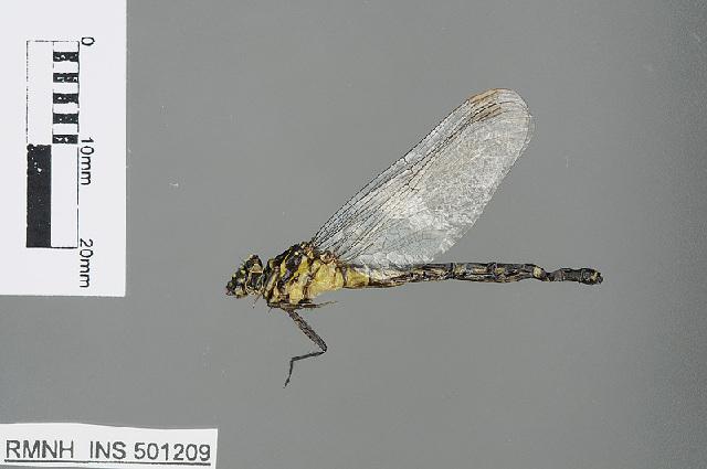 Image of Burmagomphus Williamson 1907