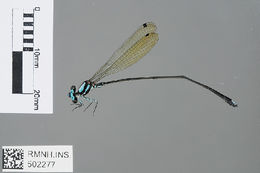 Image of Allocnemis Selys 1863