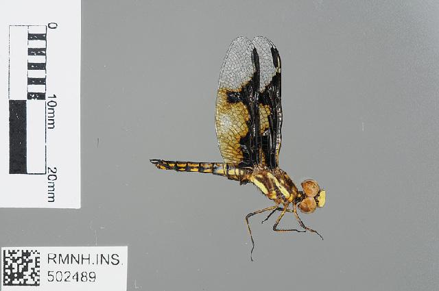 Image of Palpopleura Rambur 1842