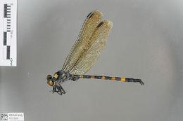 Image of Macrogomphus Selys 1858
