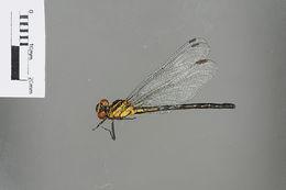Image of Leptogomphus Selys 1878