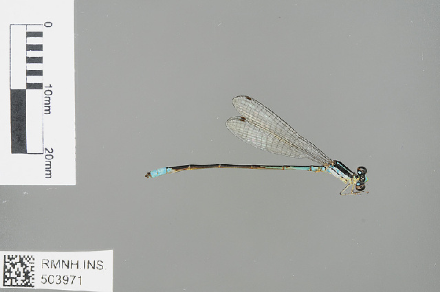 Image of Red-tipped Shadefly