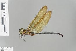 Image of Brachytroninae