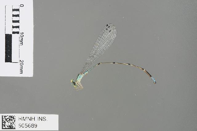 Image of Aciagrion Selys 1891