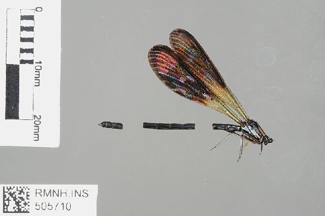 Image of <i>Heliocypha fenestrata</i> (Burmeister 1839)