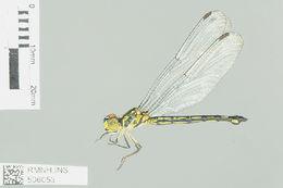 Image of Micromacromia Karsch 1890