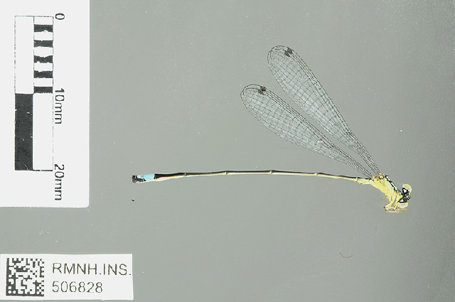 Image of Stenagrion Laidlaw 1915