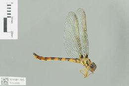 Image of Macromidia Martin 1907