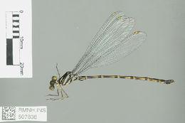 Image of Podolestes Selys 1862
