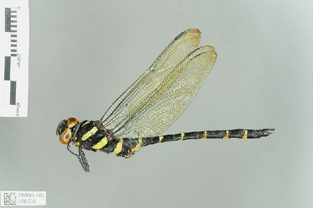 Image of Anotogaster Selys 1854