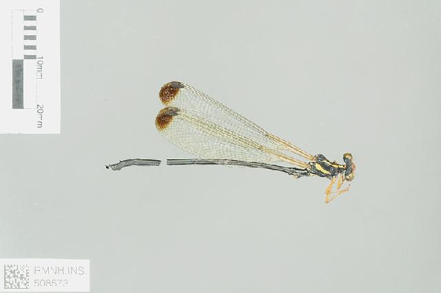Image of Rhipidolestes Ris 1912