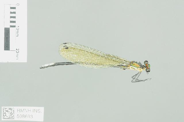 Image of Caliphaea Hagen ex Selys 1859