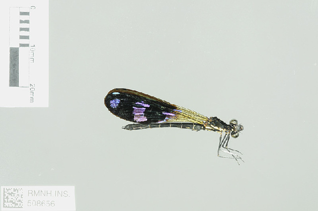 Image of Aristocypha Laidlaw 1950