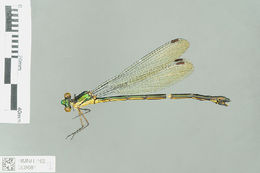 Image of Megalestes Selys 1862
