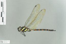 Image of Polycanthagyna Fraser 1933