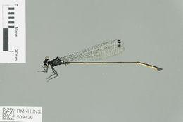 Image of Teinobasis Kirby 1890