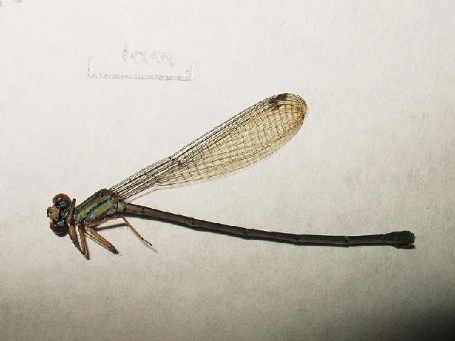 Image of Coenagriocnemis Fraser 1949