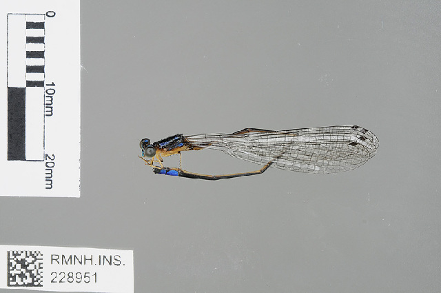 Image of <i>Stenagrion dubium</i> (Laidlaw 1912)