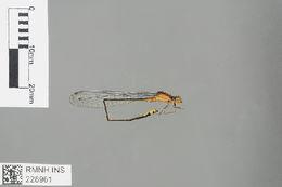Image of <i>Pseudagrion pilidorsum</i> (Brauer 1868)