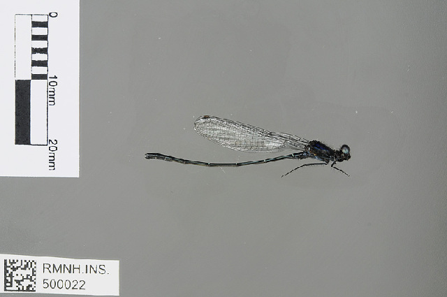 Image of <i>Onychargia atrocyana</i> Selys 1865