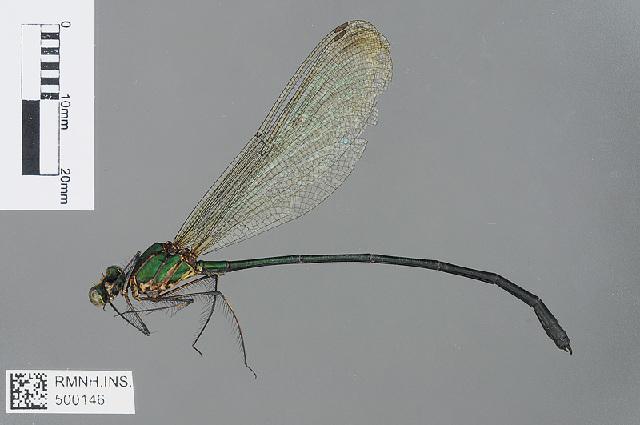 Image of <i>Phaon camerunensis</i> Sjöstedt 1900