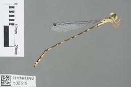 Image of <i>Selysioneura capreola</i> Lieftinck 1932