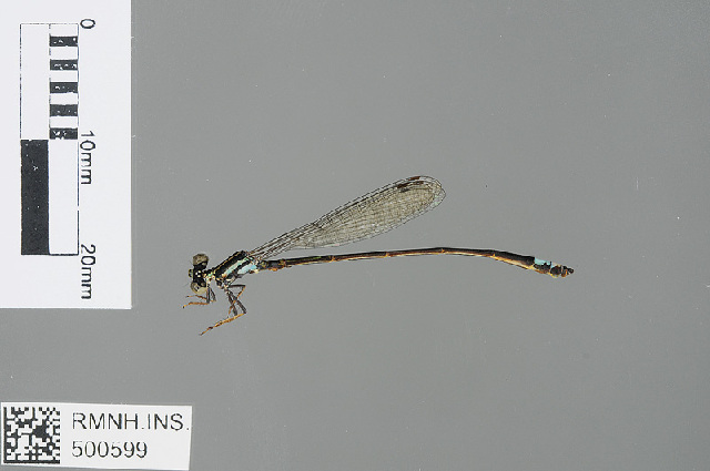 Image of <i>Argiocnemis <i>rubescens</i></i> rubescens