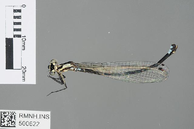 Image of <i>Torrenticnemis filicornis</i> Lieftinck 1949