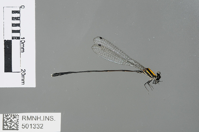Image of <i>Prodasineura dorsalis</i> (Selys 1860)