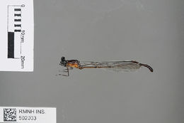 Image of <i>Dimeragrion percubitale</i> Calvert 1913