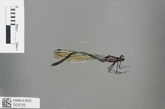 Image of <i>Teinopodagrion venale</i> (Hagen ex Selys 1862)
