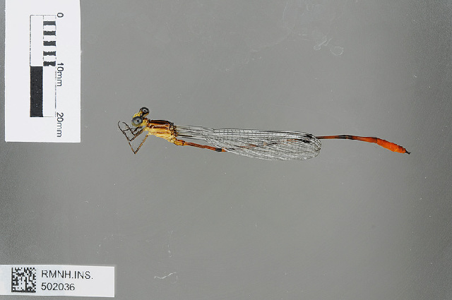 Image of <i>Heteragrion chrysops</i> Hagen ex Selys 1862