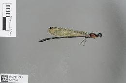 Image of <i>Caliphaea confusa</i> Hagen ex Selys 1859