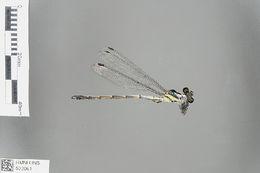 Image of <i>Philosina alba</i> Wilson 1999