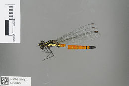 Image of <i>Indocypha catopta</i> Zhang, Hämäläinen & Tong 2010