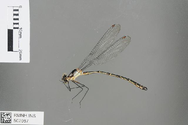 Image of <i>Teinopodagrion meridionale</i> De Marmels 2001