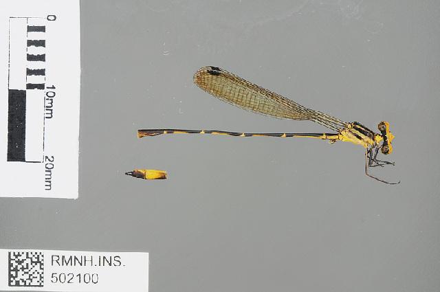 Image of <i>Heteragrion bickorum</i> Daigle 2005