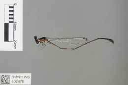 Image of <i>Allocnemis cyanura</i> (Förster 1909)