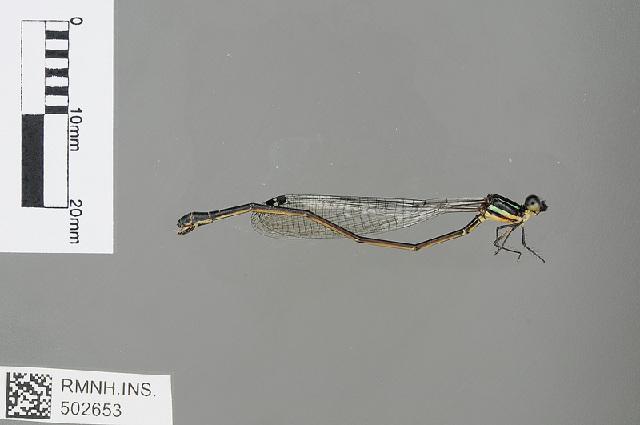 Image of <i>Allocnemis nigripes</i> (Selys 1886)