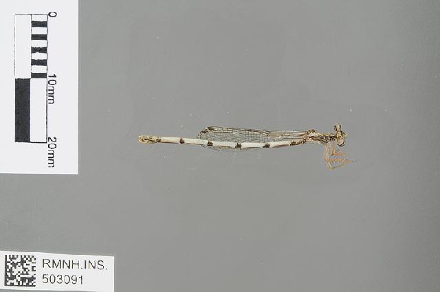 Image of <i>Copera sikassoensis</i> (Martin 1912)