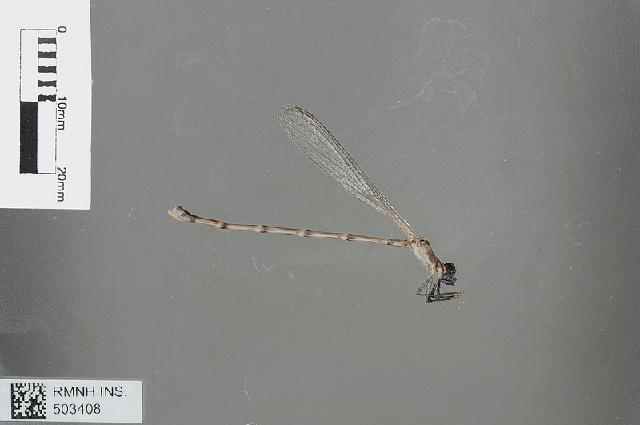 Image of <i>Isosticta gracilior</i> Lieftinck 1975