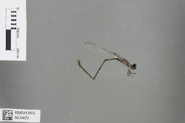 Image of <i>Isosticta</i>