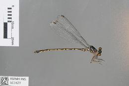 Image of <i>Podolestes orientalis</i> Selys 1862